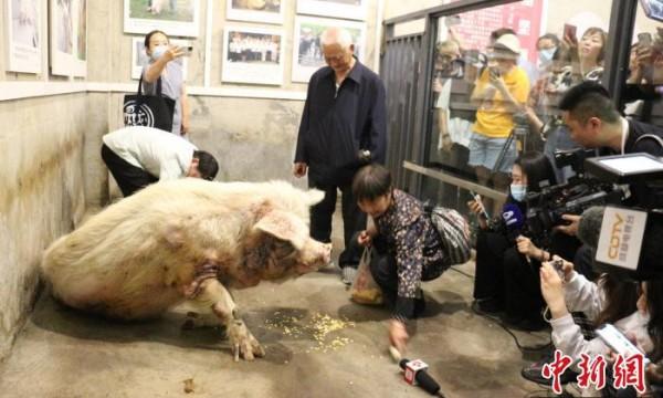 """14岁的""""猪坚强""""去世 属于自然老死"""